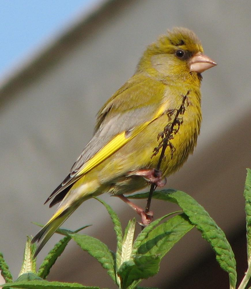 Carduelis chloris male