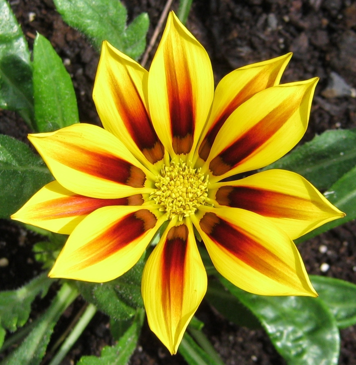 Gazania rigens 'Daybreak Red Stripe'