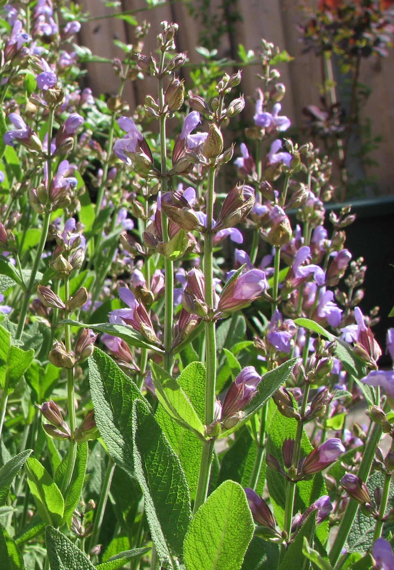 Salvia_officinalis.jpg