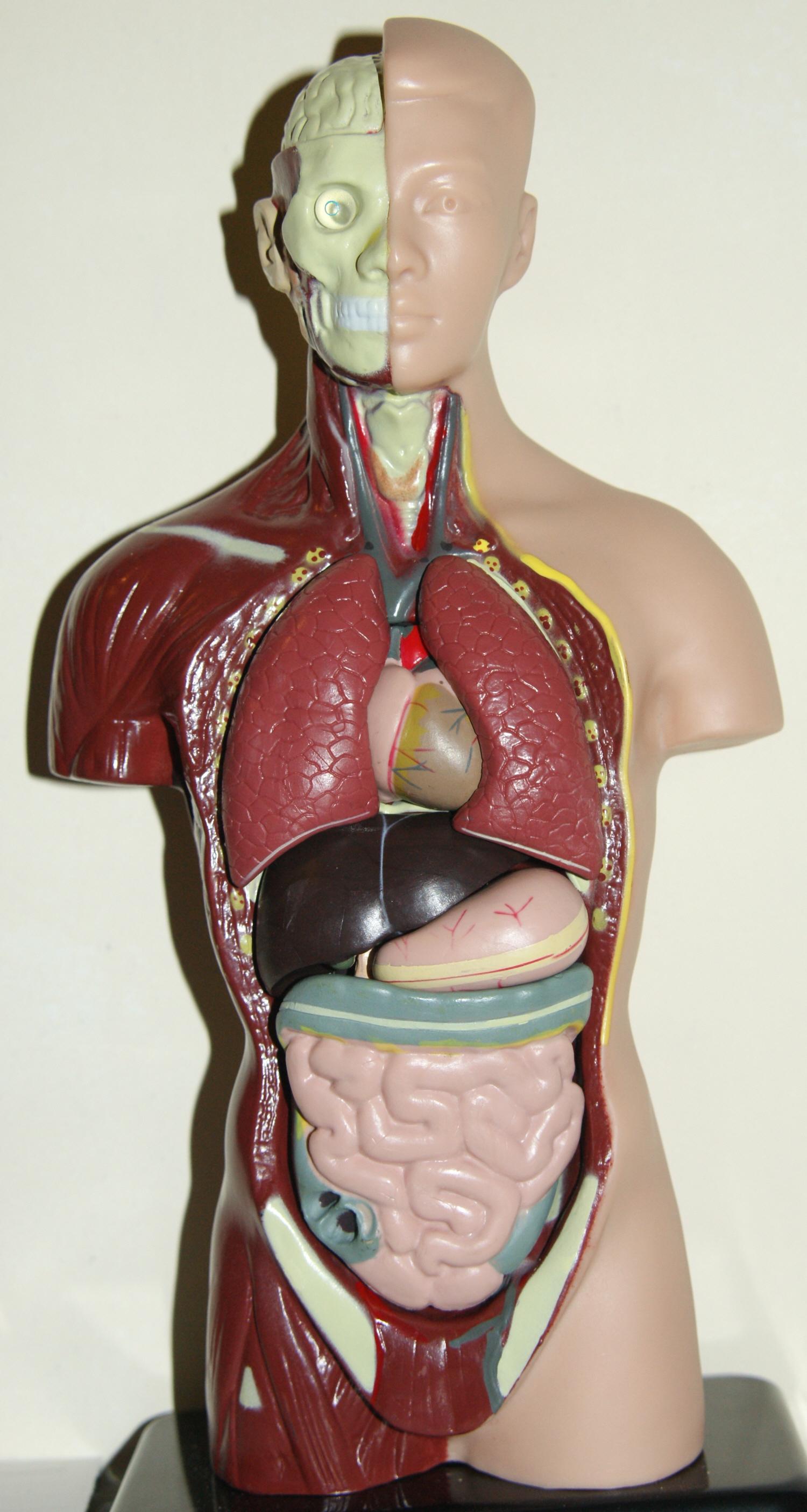 Anatomy Doll Anatomie Pop